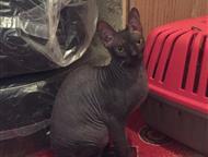 Найдена кошка СФИНКС 04. 06. 2017г. найдена кошка породы СФИНКС. Девочка, на вид чуть больше года. Ищу прежних хозяев. Телефон: 8-912-22-24-98шесть. Ю, Екатеринбург - Найденные
