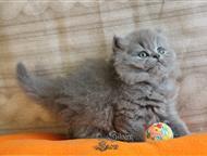 Пушистые котята, британские длинношерстные Британские длинношерстные котята. Настоящие няшки, мимишки! Изумительной красоты. Серое облачко счастья и р, Москва - Продажа кошек и котят