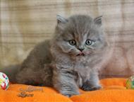 Москва: Пушистые котята, британские длинношерстные Британские длинношерстные котята. Настоящие няшки, мимишки! Изумительной красоты. Серое облачко счастья и р