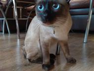 Меконский бобтейл ищет кошечку для вязки Породистый кот Меконский бобтейл с хорошей родословной, 1, эх5года, из Московского питомника, здоров, привит,, Новосибирск - Вязка кошек (случка)
